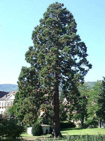 riesenmammutbaum sequoiadendron giganteum der bio gaertner