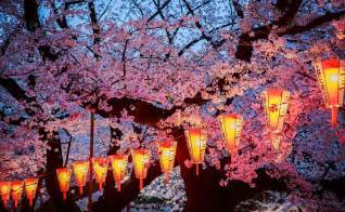 Japanese Cherry Blossom Japan