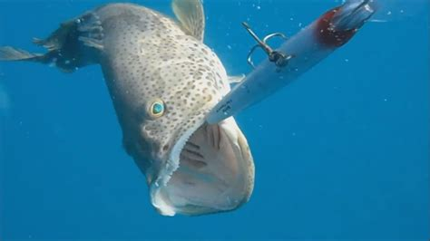 grouper hammour trolling fishing another