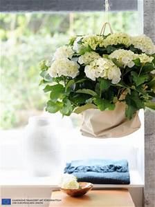 Hortensie Als Zimmerpflanze : die hortensie ist zimmerpflanze des monats m rz ~ Lizthompson.info Haus und Dekorationen