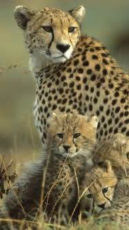 cheetah cats 413 best cheetah