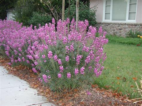 mauve bowles erysimum tall flowers hardy plants evergreen wallflower perennials summer perennial long blooms plant wide grow drought sun purple