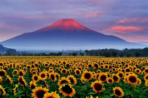 sunflower  red fuji   awesome japan fuji