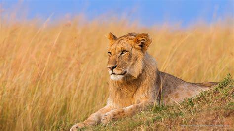 Free Animals Wallpaper - Young Lion, Maasai Mara National ...