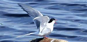 Five Reasons to Love the Arctic Tern - Ocean Conservancy