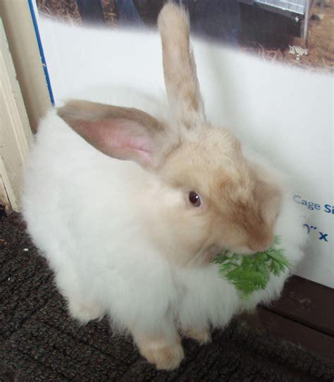 angora rabbit dee finney s blog november 24 2013 page 599 angora rabbits