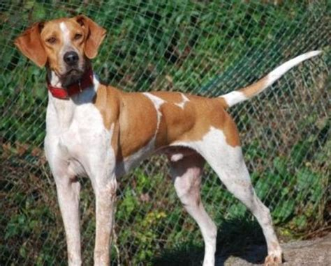 coonhound english tick hound puppies nova pets dog beagle scotia ticks point dogs canada coon american nice