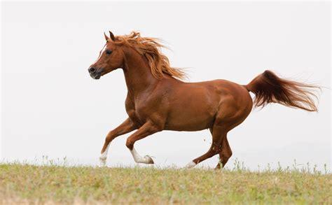 horses horse arabian stallion fine take runs horseshoe photograph etsy stallions livingimagescjw allows overcast shoot later living