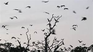 Fruit bats flying out of their trees on dusk in ...