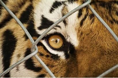 Animal Welfare Interaction Zoo Tiger Ever Eye