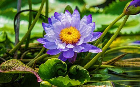 Download wallpapers violet lotus, 4k, macro, beautiful ...