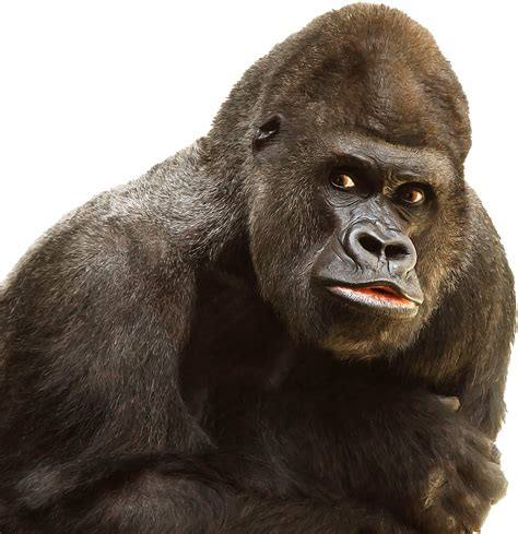 Gorilla Face Transparent Background