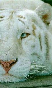 Siberian White Tiger   Animals beautiful, Animals, Tiger ...