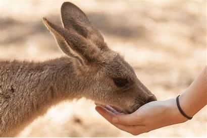 Kangaroo Pet Things Feeding Consider Hand Before