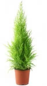 Zypresse Wird Braun : zypressen pflanzen zypressen heiligenkraut pflanzen ~ Lizthompson.info Haus und Dekorationen