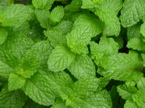 mint plant mint plant varieties review