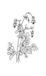 Coloring Columbine Aquilegia Canadensis Eastern Pages Violet Printable Version sketch template