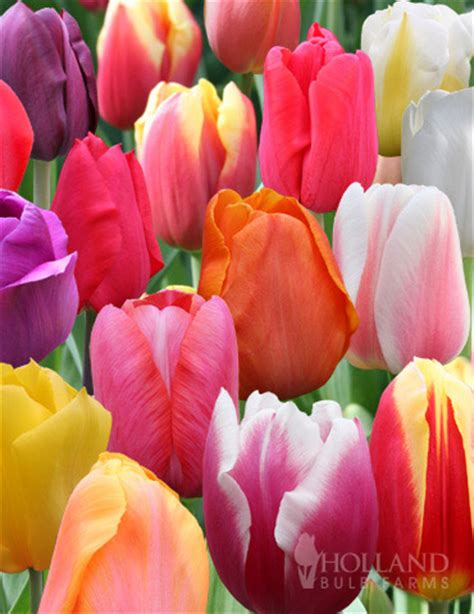 flower bulbs wholesale bulk