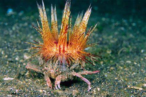 decorator crabs and sea sponges the decorator crab and sea sponge commensalism thinglink