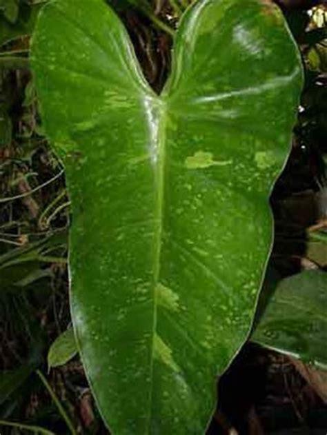 philodendron domesticum hastatum variegatum glasshouse works