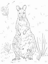Wallaby Coloring Necked Pages Printable Supercoloring Categories sketch template