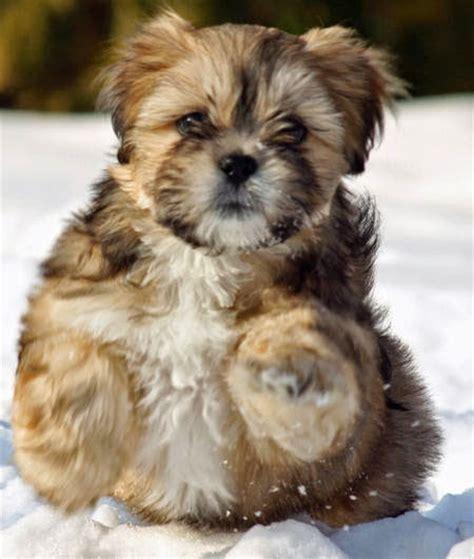 llaso apso puppy goldenacresdogscom