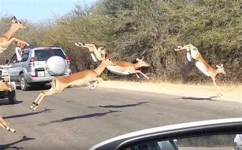 €�it's In The Car, It's In The Car!' Impala Chased By