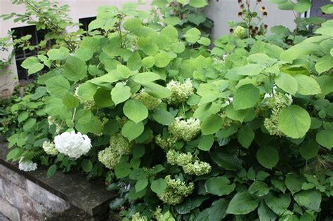 hortensien wann pflanzen wann hortensien schneiden hortensien schneiden ja oder