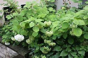 Hortensien Wann Schneiden : hortensien schneiden nach bl te hortensien schneiden wie ~ Lizthompson.info Haus und Dekorationen