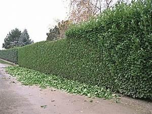 Comment Tailler Une Haie De Laurier : taille de haies taille d 39 arbres taille de rosiers ~ Melissatoandfro.com Idées de Décoration