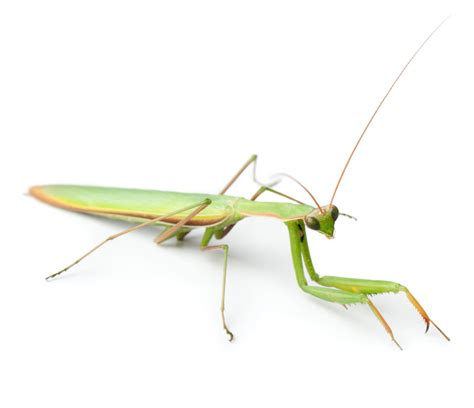 Praying Mantis Habitat: Exploring Where These Insects Dwell
