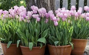 Tulpen Im Topf In Der Wohnung : blumenzwiebeln im topf richtig berwintern balkon terrasse garten pinterest garten ~ Buech-reservation.com Haus und Dekorationen
