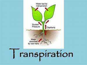 Ppt - Transpiration Powerpoint Presentation