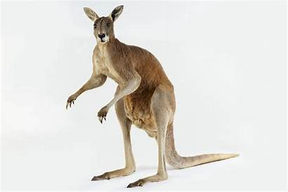 Kangaroo Macropus Taxidermy Rufus Mount Cc