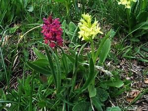Orchideen Klebrige Blätter : orchideen orchis alle ~ Whattoseeinmadrid.com Haus und Dekorationen