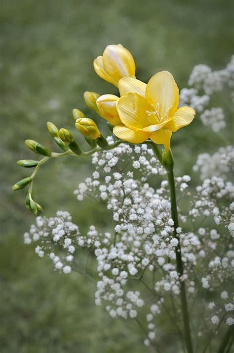 fresia bloemen s gratis foto fresia s bloem gele bloemen gratis
