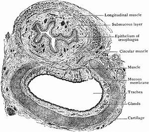 Transverse Section Of Trachea And Esophagus