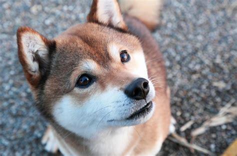 cuisine traditionnelle japonaise shiba inu la des chiens japonais