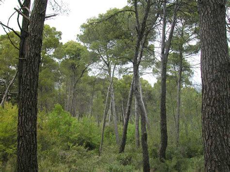Vista del pinar y el sotobosque mediterráneo que lo tapiza ...