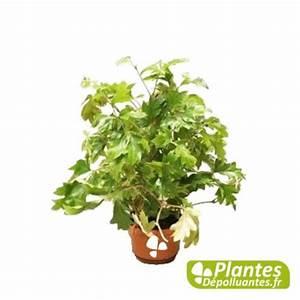 Plante Pour Appartement : plante d 39 int rieur d polluante cissus vigne d 39 appartement ~ Zukunftsfamilie.com Idées de Décoration