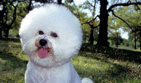 bichon frise dog breed information