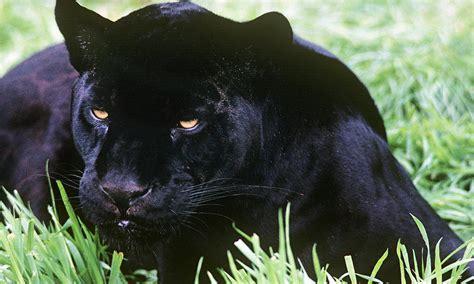 Black Jaguar by Black Jaguar Photos Wwf