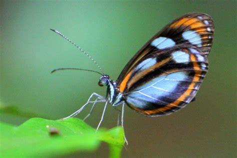 blue black  orange butterfly  yasuni national park