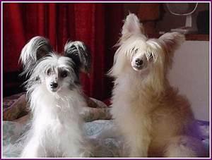 File:Chinese Crested Dog Powderpuff Laura e Gianni.jpg ...