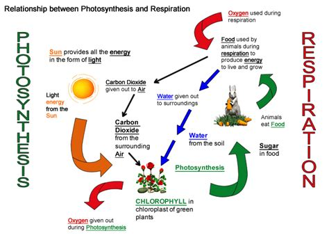 breathing photosynthesis and respiration science is