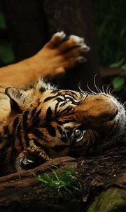 Wild Tiger | Tiger photography, Tiger pictures, Wild tiger ...