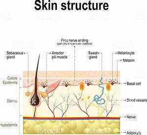 Human Skin Anatomy Stock Illustration