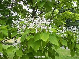 Catalpa Bignonioides Nana Pflege : trompetenbaum berwintern gew hnlicher trompetenbaum ~ Lizthompson.info Haus und Dekorationen