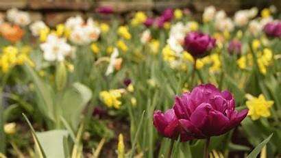 Spring Flowers Duke Tulip Season Gardens Plants