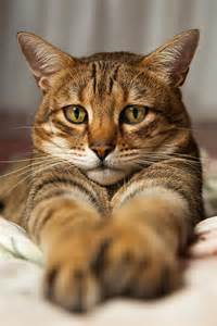 bengal cat temperament and personality of bengal cats many
